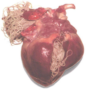dog's heart filled with heartworms