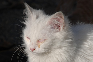 white kitten with infected eye