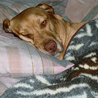 dog covered with blanket
