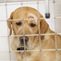 dog with head wound