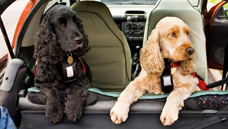 two cocker spaniels safely secured with seat belts in a car